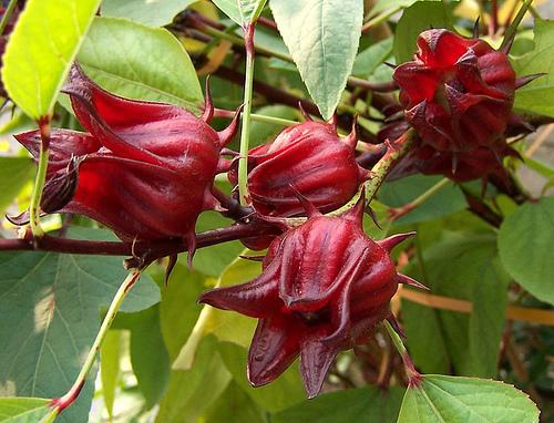 KAEËL photo ingrediant hibiscus